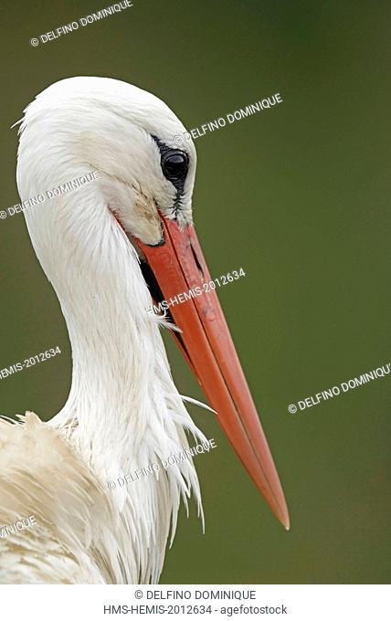 France, Somme, Baie de Somme, Saint Quentin en Tourmont, Marquenterre Park, White Stork (Ciconia ciconia), portrait of the bird
