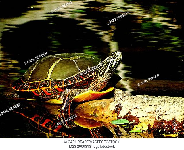 A painted turtle, Chrysemys picta, takes some sun on a log, Pennsylvania, USA