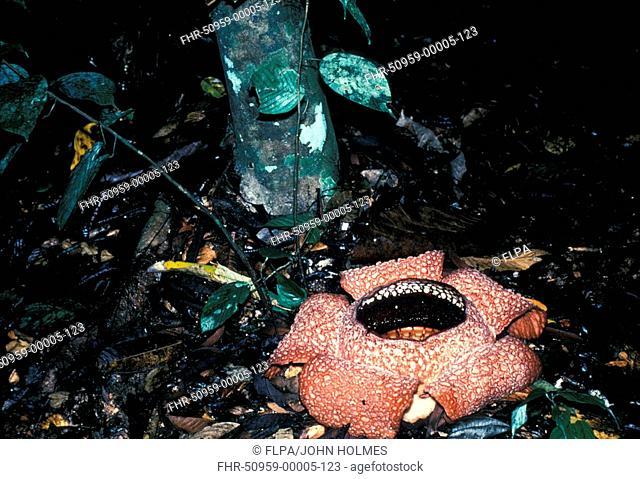 Flower - Rafflesia Poring Hot Springs / Sabah,E Malaysia