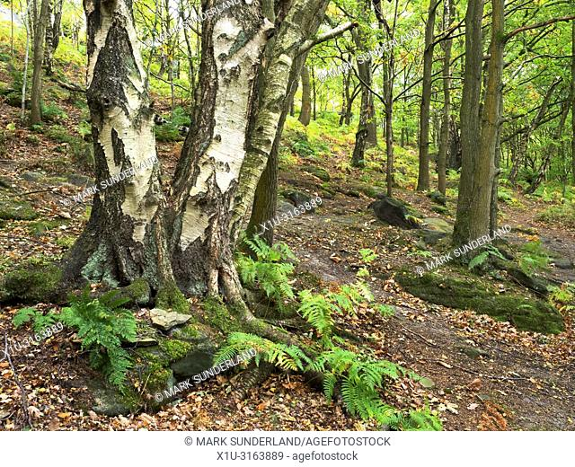 Birch Trunks in early autumn at Shipley Glen near Baildon West Yorkshire England