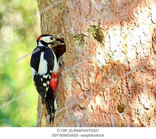 Hairy woodpecker male bird holding food
