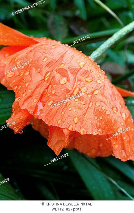 An orange Oriental Poppy in the rain