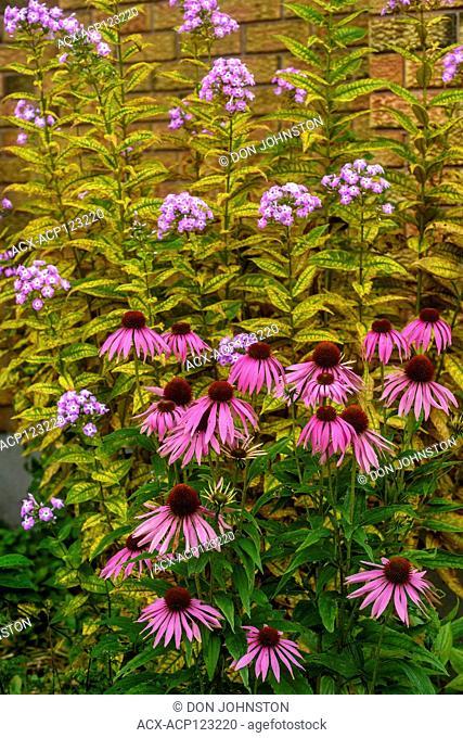 Garden coneflowers, Greater Sudbury, Ontario, Canada