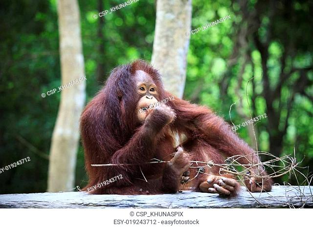 indonesia orangutan with nature blurry background use for animal