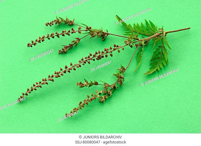 DEU, 2007: Annual Ragweed, Common Ragweed (Ambrosia artemisiifolia), stem with leaves and male and female flowers, studio picture