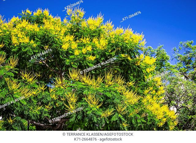 A decorative tree with yellow flowers on Plaza Lavalle in Buenos Aires, Argentina, South America