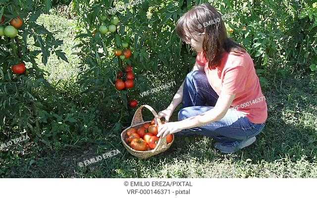 Harvesting tomatoes. Lleida, Catalonia, Spain
