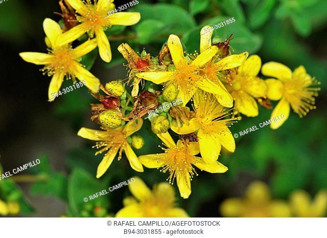 St. John's-wort flower (Hypericum sp., fam. Hypericaceae), Sorteny valley Natural Park. Andorra. Europe