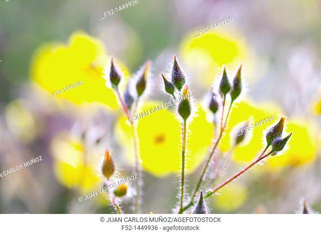 Spring, Monfrague National Park, Caceres, Extremadura, Spain, Europe