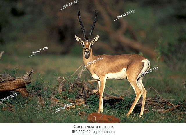 Grant's Gazelle (Gazella granti), adult, male, Samburu Game Reserve, Kenya, Africa