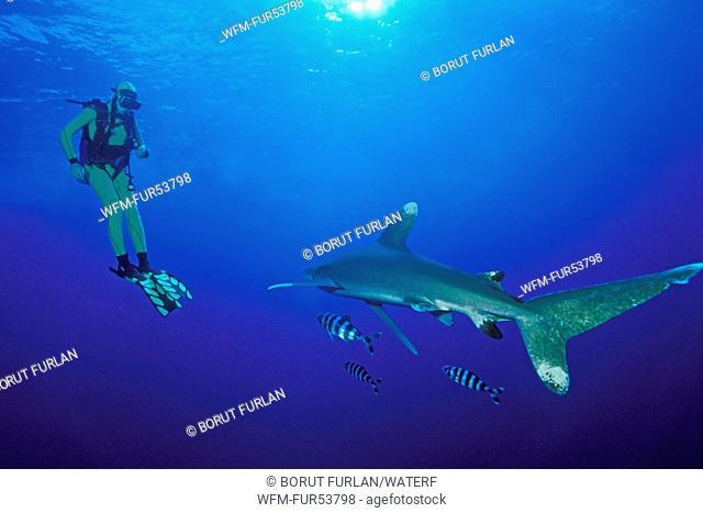 Scuba Diver and Oceanic Whitetip Shark, Carcharhinus longimanus, Elphinstone, Red Sea, Egypt