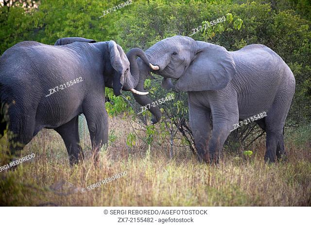An adult elephant with her †‹†‹calf near Camp Khwai River Lodge by Orient Express in Botswana, within the Moremi Game Reserve Wild