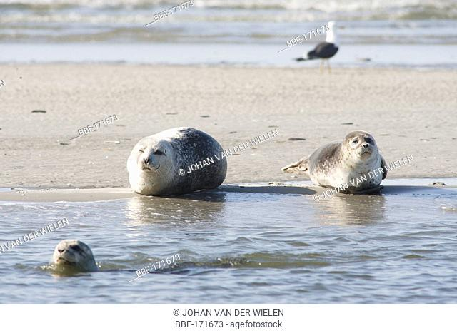 common seal rest om sandbank