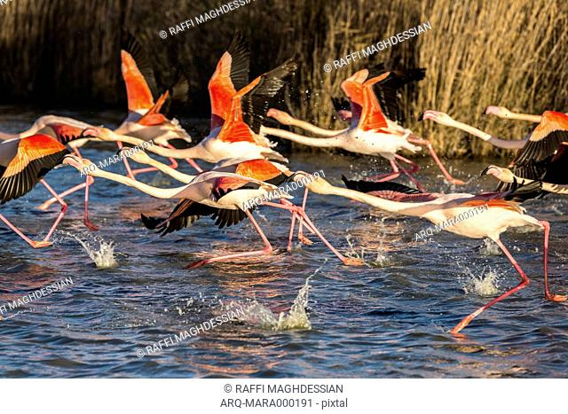 A Flock Of Pink Flamingoes About To Take Flight Over The Water In The Camargue Region, France