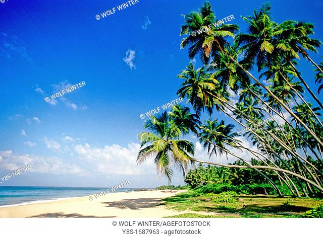 Coconut Trees, West Coast