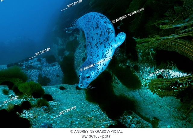 "Tagged seal - â""–633. Spotted seal, larga or largha seal (Phoca largha, Phoca vitulina largha), Islands Verkhovskogo, Peter the Great Gulf, Sea of Japan"