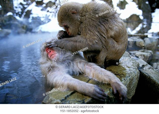 Japanese Macaque, macaca fuscata, Adults standing in Hot Spring Water, Grooming, Hokkaido Island in Japan