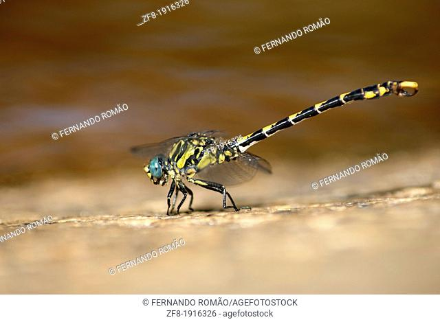 Large Pincertail dragonfly near riverside, at Guarda-Portugal