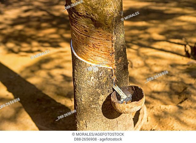 Myanmar (Burma), Bago State, Bago, harvesting latex from rubber trees
