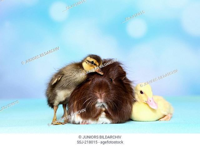 Mulard Duck and Indian Runner Duck. Two ducklings and long-haired guinea pig next to each other. Studio picture against a blue background. Germany
