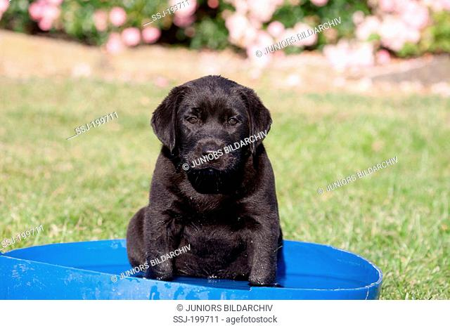 Labrador Retriever. Black puppy in a small swimming pool on a lawn. Germany