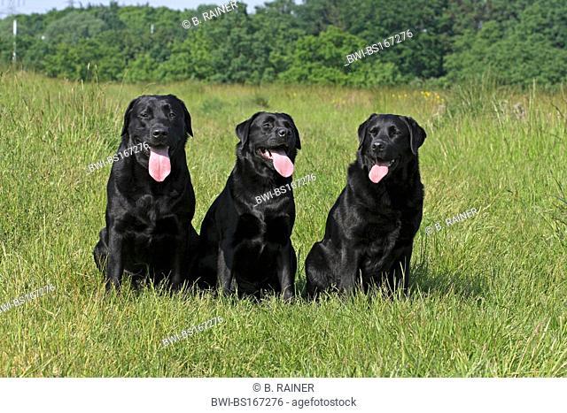 Labrador Retriever (Canis lupus f. familiaris), 3 Labrador Retrievers on a meadow