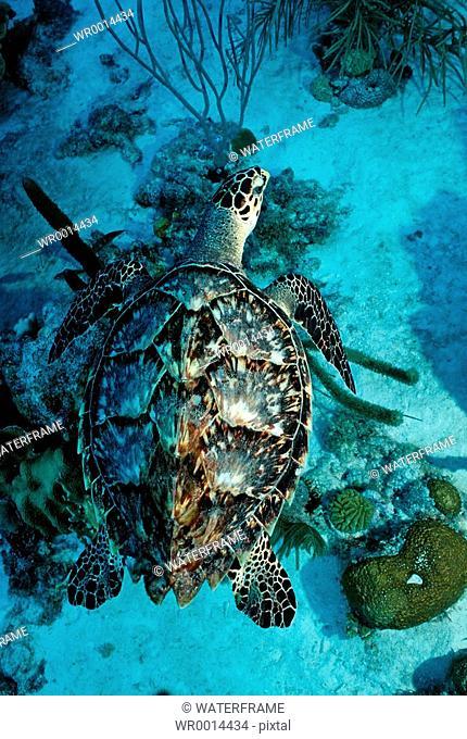 Hawksbill Sea Turtle, Eretmochelys imbriocota, Caribbean Sea, Tobago