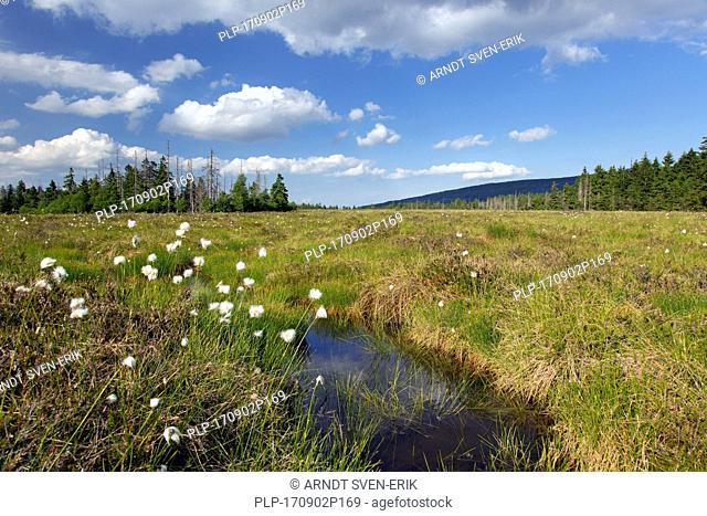 Hare's-tail cottongrass / tussock cottongrass (Eriophorum vaginatum) at raised bog at Großes Torfhausmoor / Radaubornmoor, Harz National Park, Lower Saxony