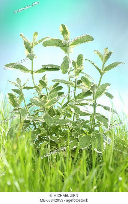 Pineapple mint, Mentha suaveolens variegata