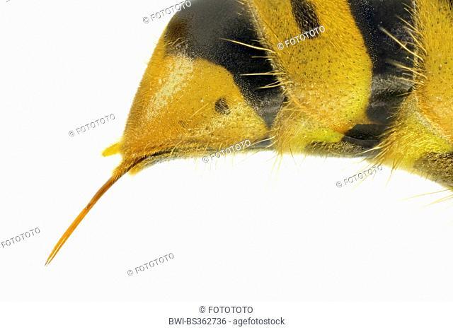 common wasp (Vespula vulgaris, Paravespula vulgaris), macro shot of an ovipositor of a queen