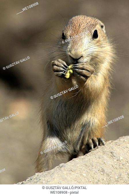 Kid prairie dog are eating peanuts