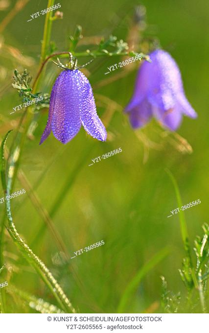 A harebell blossom is covered with dew drops. Campanula rotundifolia