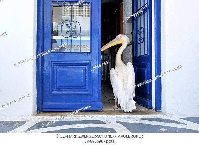 Pelican standing in front of a blue painted door, tourist attraction in Mykonos city, Mykonos, Cyclades, Greece, Europe
