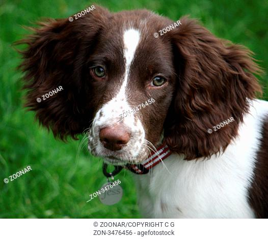A cute english springer spaniel puppy with huge ears
