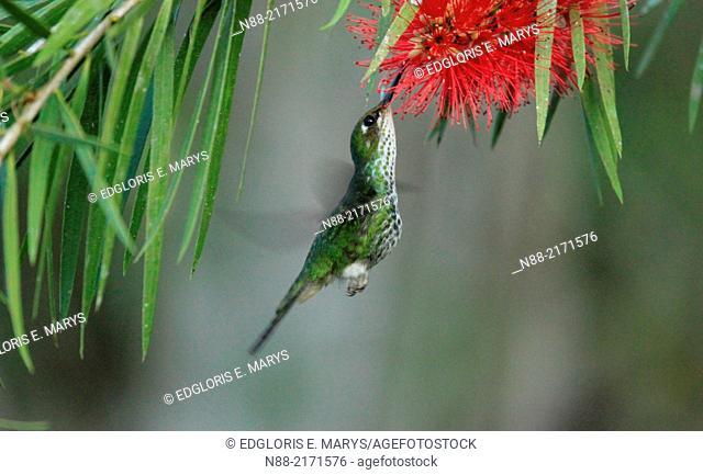 Female Raquet-tailed Puffleg hummingbird feeding on Callistemon citrinus, Altos de Pipe, Venezuela