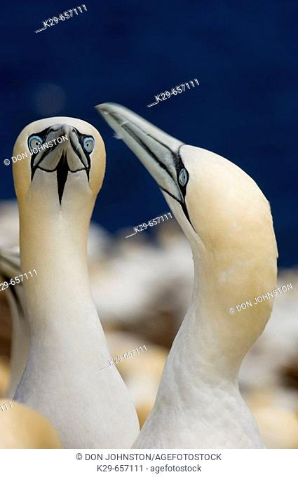 Northern gannet (Morus bassanus)- 'fencing' behaviour