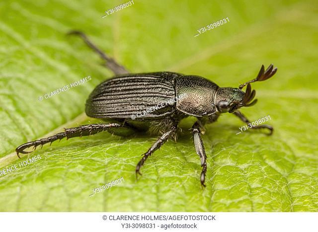 A dark form of the Oriental Beetle (Exomala orientalis) on a leaf