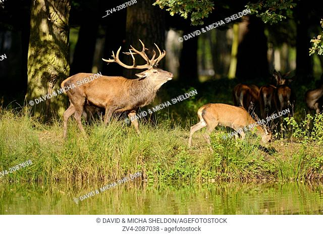 A Red deer (Cervus elaphus) male with a youngster at the edge of the woods