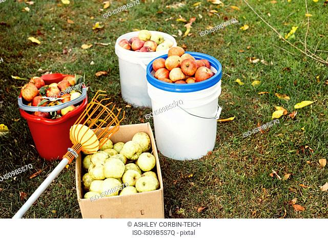 Buckets and box of fresh picked apples on grass, with fruit picker tool