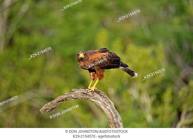 Harris Hawk (Parabuteo unicinctus), Rio Grande City, Texas, USA