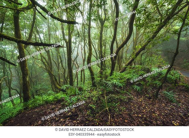 Magic Laurisilva rain forest in Anaga mountains, Tenerife, Canary islands, Spain