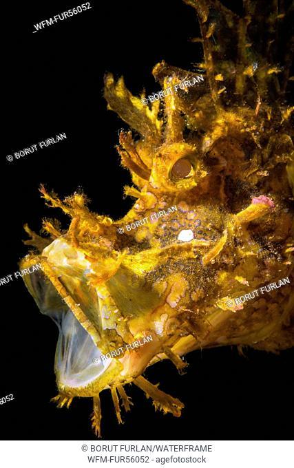 Weedy Scorpionfish, Rhinopias frondosa, Pantar, Alor Archipelago, Lesser Sunda Islands, Indonesia