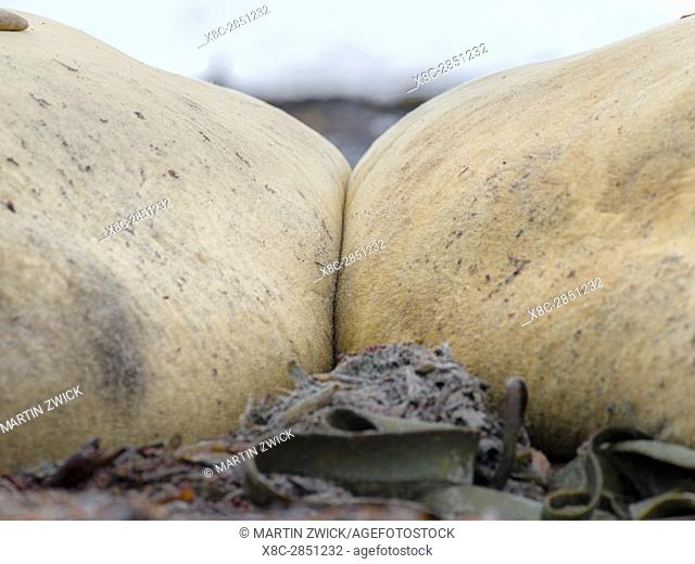 Southern elephant seal (Mirounga leonina), male, after breeding period on the Falkland Islands. South America, Falkland Islands, January