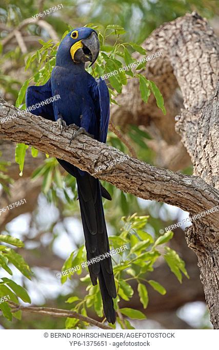 Hyacinth Macaw Anodorhynchus hyacinthinus sitting on branch, Pantanal, Brazil