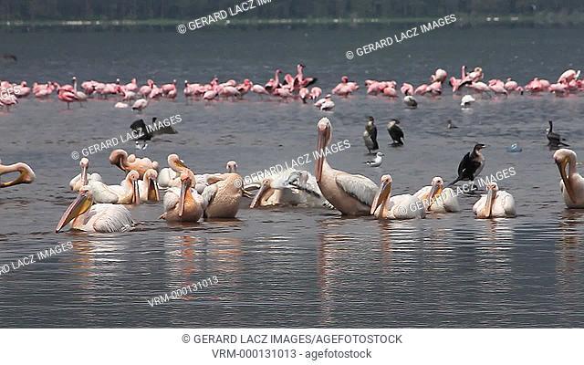 Great White Pelican, pelecanus onocrotalus, Group having Bath, Colony at Nakuru Lake in Kenya, Slow motion