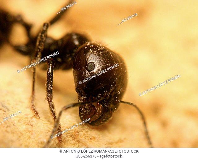 Carpenter Ant (Camponotus sp.)