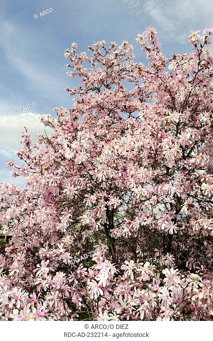 Magnolia 'Leonard Messel', Magnolia x loebneri Kache