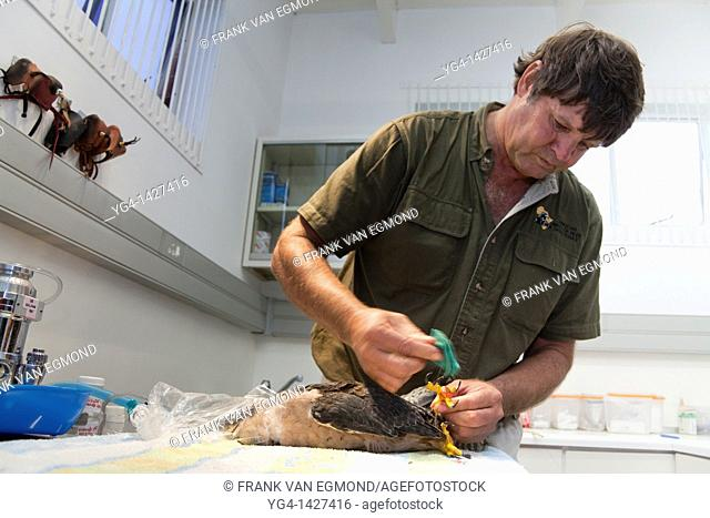 Zooligist Ben Hoffman cleaning a Lanner Falcon's claw with disinfectant at the African Bird of Prey Sanctuary's Raptor Clinic  Over 200 birds come through the...