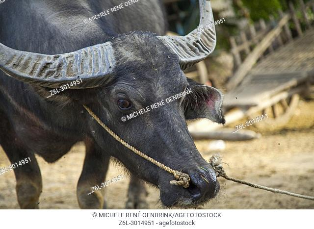 Water buffalo tied in small town Bagan Myanmar