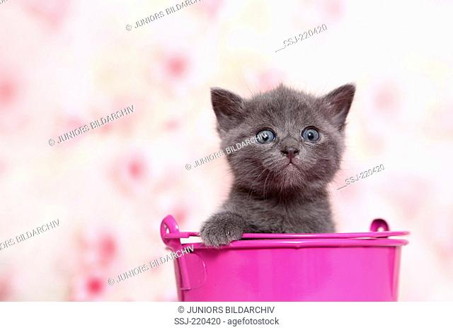 European Shorthair. Gray kitten in a pink bucket, seen against a light background with Cherry flower print. Germany